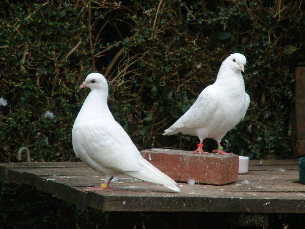 life and white dove partnership The white-winged dove (zenaida asiatica)  white-winged dove videos at tree of life white-winged dove species account at neotropicalbirds (cornell university.