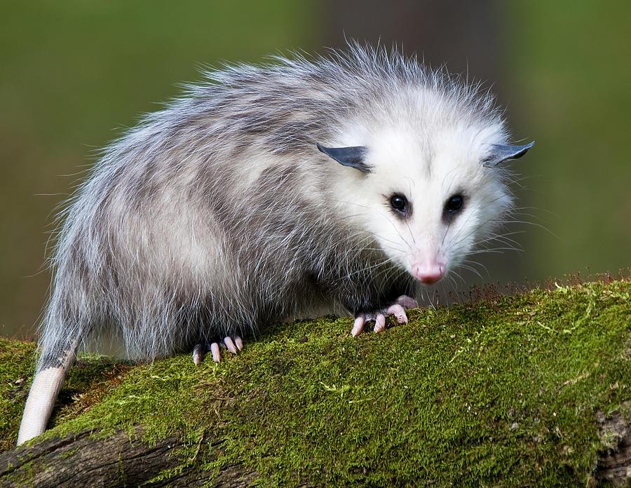 opossum opossums pets critters possum cannon paul animals animal pet facts photograph