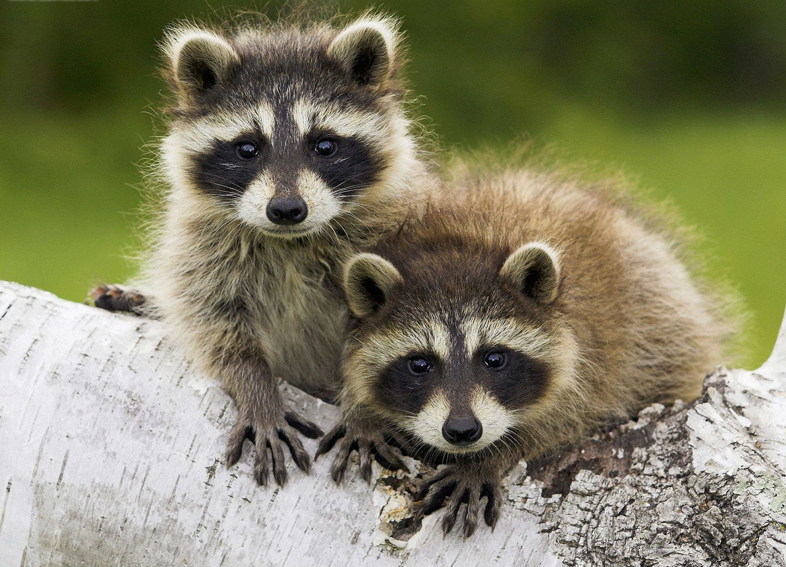 critters raccoons animals racoon dog raccoon animal pets baby pet cat creatures markings kill would