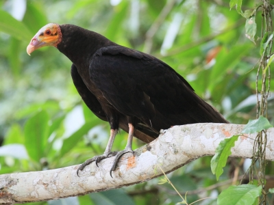 Yellow Headed Vulture