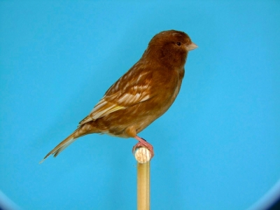 Brown Canary