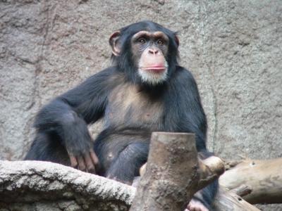 Chimp