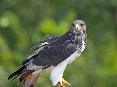 African Augur Hawk