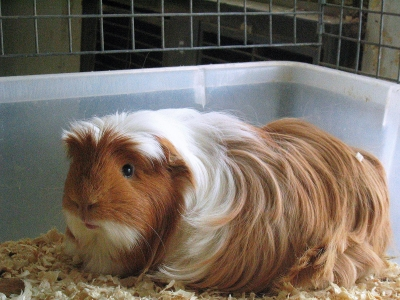 Long Hair Guinea