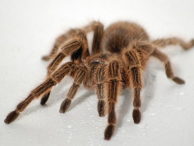 Rose Haired Tarantula
