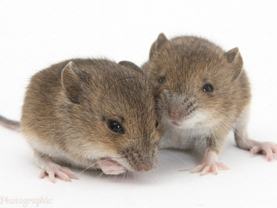 Baby Yellow Necked Mice