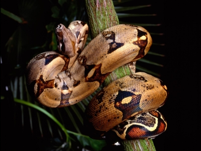 Boa Constritor